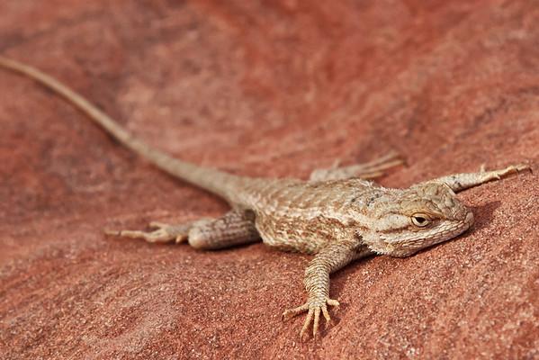 Plateau Lizard