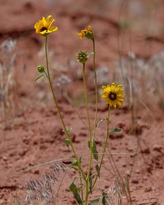 Yellow Wildflower in Moab Desert