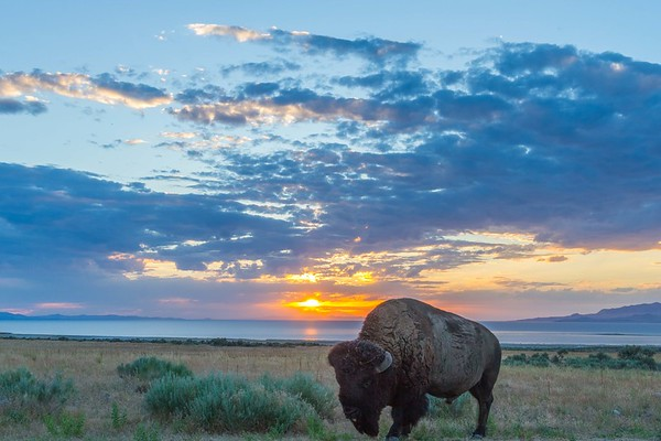 Buffalo on Antelope Island in Utah