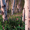 Evening Aspens in Farmington Canyon