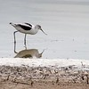 American Avocet at the Great Salt Lake