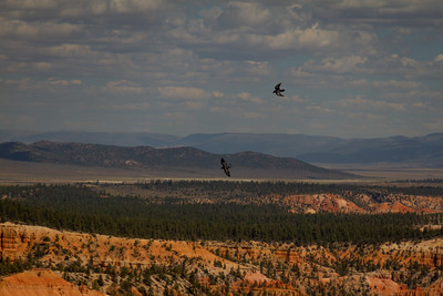 Ravens in Flight at Bryce Canyon