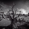 Gnarly tree in B&W.<br /> Canyonlands NP<br /> Moab Utah