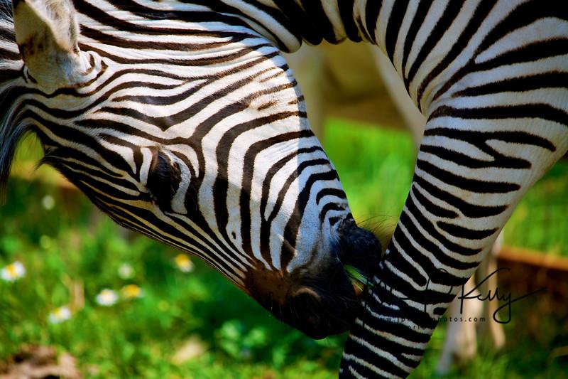 Park City Zebra