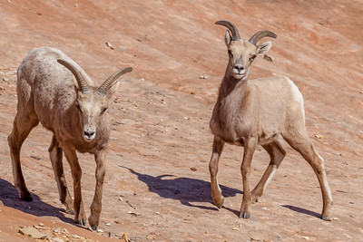 "Desert bighorn sheep are perfectly adapted to survive the hot, dry deserts they call home. Their bodies are smaller, legs longer, and coats shorter than their cousin the Rocky Mountain bighorn. In the spring, bighorn can go many days without drinking water, metabolizing just enough moisture from the vegetation they eat. In dry times of the year, they drink more frequently, relying on water-filled potholes and springs to survive.  Desert bighorn sheep have roamed the southwest for at least 12,000 years. They may have numbered in the millions when explorers and pioneers first traveled west. Their numbers made a dramatic drop due to human encroachment, hunting, habitat loss, and disease outbreaks from domestic livestock. In Zion, bighorns were locally extinct or ""extirpated"" by the mid-1900s, prompting a program to return the bighorn sheep to their native territory.   The National Park Service worked with the Utah Department of Wildlife Resources to restore 14 sheep back into the Zion wilderness by 1978. The reintroduction did not appear successful in the early years, but now the bighorn sheep herd has grown to over 500 animals in 2018. Bighorn have done so well in Zion that now wildlife biologists are concerned about the high population density. One major concern is that as bighorn spread out to new territory, they have a greater chance of contact with domestic sheep and goats, which can spread diseases fatal to wild bighorn. Park biologists and state wildlife officials are studying the issue to determine if actions need to be taken."