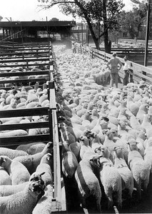Ogden-Union-Stockyards_counting sheep_1939_knowles_OgdenRails1-64A