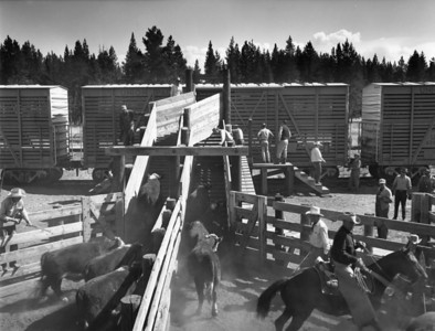 Loading cattle, Railroad Ranch, near Island Park, Idaho.