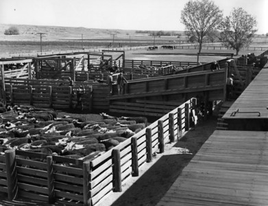 Loading cattle, Railroad Ranch, near Island Park, Idaho.