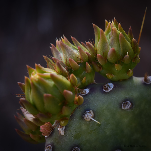 New Growth on Beaver Tail Cactus