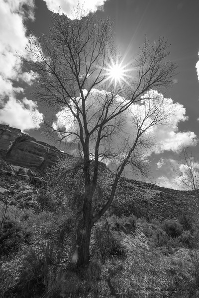 Tree, Ute Canyon