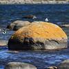 Fiskmås på sten