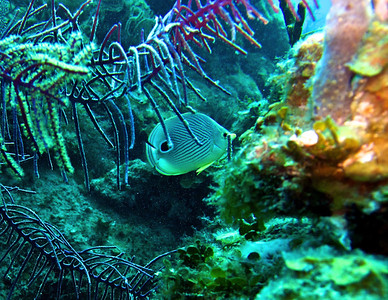 4 eyed Butterfly fish
