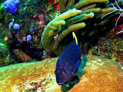 Spotted Damsel Fish