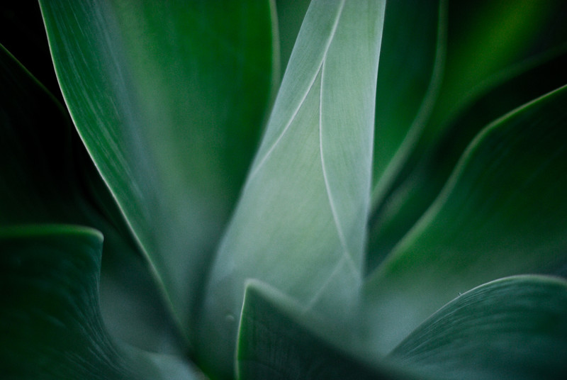 Foxtail Agave