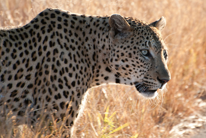 """<span id=""""title"""">Leopard</span> <em>Kruger National Park</em> In case you're not sure, let me be clear - this was the coolest thing we saw. First of all, leopards are rare to see, and we saw two! Even more so, this one didn't seem to mind the vehicles and just walked along in a completely relaxed way. It was amazing."""