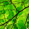 "<span id=""date"">_04/02/10_</span> <span id=""title"">Green er y</span> Leaves on tree. Taken at lunch. UCLA botanical gardens. Sets of three. Words, that is. Mother-in-law flying in. Fun weekend ahead.  <a href=""http://www.jawsnap.net/gallery/7157835_BfJPF#504359565_2yFPC"">[last year]</a>"