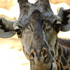 "<span id=""date"">_03/01/09_</span> <span id=""title"">Giraffe Closeup</span> Went to the LA Zoo today and got some nice shots of the giraffes and a few other animals. It was nice, but pretty hot, although I left around noon. Although it's edited a bit, I'm proud to say this photo is not cropped at all, I was able to get in super-close. I honestly wasn't expecting the giraffes to be my best subjects, usually the chimpanzees put on a good show. It was fun though, it's always nice to see the animals. I'll post some more shots in my <a href=""http://jawsnap.smugmug.com/gallery/4526125_bBYLQ"">critters gallery</a> when I get a chance.  Thanks for all the comments on <a href=""http://jawsnap.smugmug.com/gallery/4429824_zbVM5#482602923_EW8Na"">yesterday's photo</a>, I really appreciate it! And Happy March!  <a href=""http://jawsnap.smugmug.com/gallery/4429824_zbVM5#260785261_LaPKM"">[last year]</a>"
