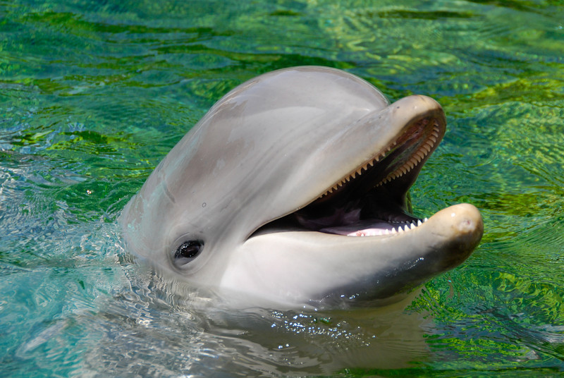 """<span id=""""date"""">_04/10/10_</span> <span id=""""title"""">Feed Me</span> Today we went to Sea World! I took a lot of shots, but this was my favorite - a simple dolphin portrait. We had a great time feeding them, although $6 for three measly fish seems a bit much. We also enjoyed feeding the sting rays!  <a href=""""http://www.jawsnap.net/gallery/7157835_BfJPF#509828485_PvPTS"""">[last year]</a>"""