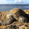 """<span id=""""date"""">_11/20/10_</span> <span id=""""title"""">Sea Turtle</span> <em>Hawaii Day 1</em> Today we flew into Honolulu! My cousins picked us up and took us all over the North Shore. This turtle (and several of his friends) was on Ali'i Beach in Hale'iwa.  <a href=""""http://www.jawsnap.net/Travel/Hawaii2010/14883306_hHp9Z"""">More Hawaii Photos!</a>  <a href=""""http://www.jawsnap.net/Daily/year2/7157835_BfJPF#719329668_4UwjC"""">[last year]</a>"""