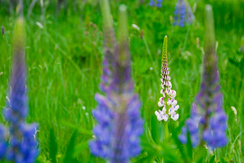 """<span id=""""title"""">Lupines</span> Most of them were blue/purple, but a few were pink/white."""