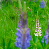 "<span id=""title"">Lupines</span> Most of them were blue/purple, but a few were pink/white."