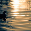 1/13/09<br /> Duck in a pond, with nice ripples in the morning light. This image is slightly cropped and I applied the split toning in Lightroom after desaturation. There wasn't much color variety to begin with, so I played around with the hues until I found a combination I liked.
