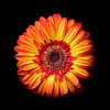 Flame Daisy