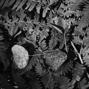 Fallen aspen leaves rest on a fern along the Alpine Loop near Mount Timpanogas, Utah
