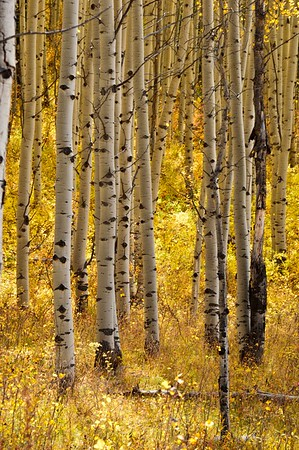 A golden understory in a grove of aspen near Kebler Pass, Colorado