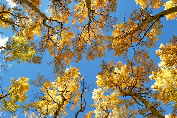 Canopy of golden aspen along the South Arkansas River east of Monarch Pass, Colorado