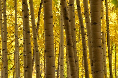 Aspen bark bathed in golden light near Ohio Pass, Colorado
