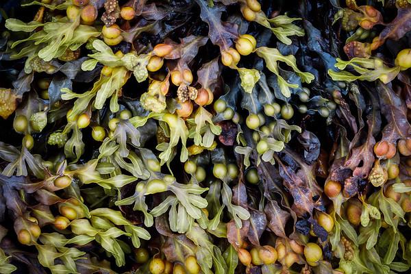 Seaweed Acadia NP Maine