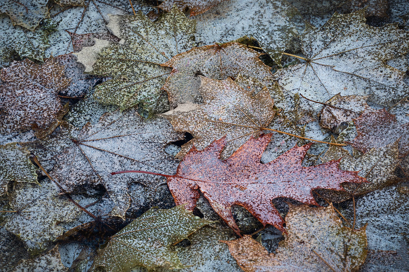 """Oak Leaves under Ice"" Wellesley Massachusetts"