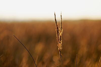 Gräs i morgonljus