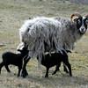 Gutefår med lamm