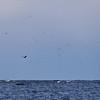 Havsörn jagad av måsar m.fl.