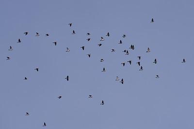 Duvor i flock