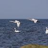 Unga svanar på väg för landning
