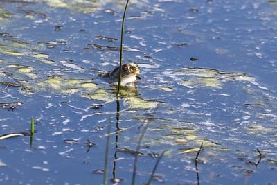 Lekande grodor i vassen