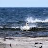 Svan leker i vågorna