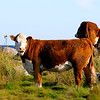 Svensk Jersey-boskap