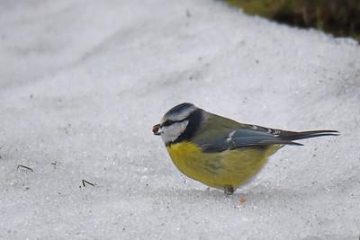 Blåmes i snö