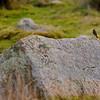 Rödhake på sten