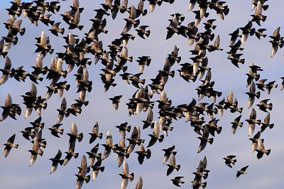 En flock Starar
