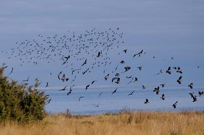 En flock starar och kråkor