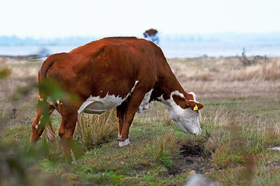 Ko – Svensk Hereford-boskap