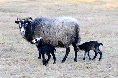 Gutefår och nyfödda lamm