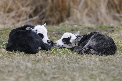 Nyfödda lamm