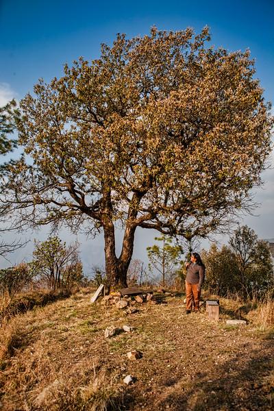 The Lone Oak Tree at the  Jabarkhet Nature Reserve near Landour, Uttarakhand