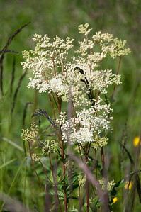 Älggräs   (Filipendula ulmaria)
